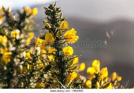 Tree With Bright Yellow Flowers - yellow flowering bush stock photos u0026 yellow flowering bush stock