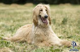 afghan hound long haired dogs afghan hound complete breed information and photos