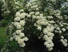 <b>Spiraea</b> is native to the