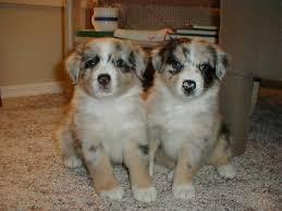 australian shepherd diseases australian shepherd dogs australian shepherd dog breed info