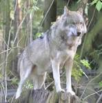 Image result for Canis lupus