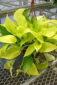 neon pothos plant types and identifications pinterest neon