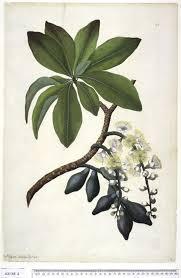 Barringtonia calyptrata