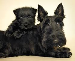 Scottish Terrier Top Dog Image