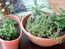 indoor herbs equal home remedies during winter the blade