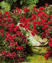 Rosa 'The Fairy' !!! - Page 2 Images?q=tbn:ANd9GcSSSnLQvUyrU_TZzhB3_Uy6asKGJ5WbeqUv35p0x2DLTHMclnj51Q