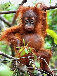 baby orangutan on Tumblr