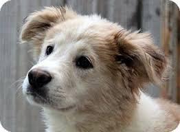 3 australian shepherd mix puppies for adoption hagerstown md australian shepherd great pyrenees mix meet