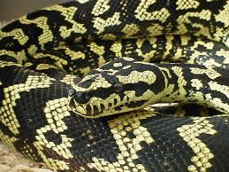 Arian Jaya Carpet Python