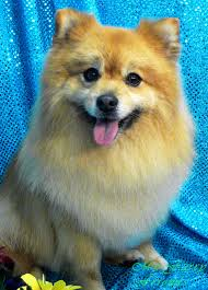 american eskimo dog lion cut pet grooming the good the bad u0026 the furry grooming pomeranians