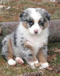 6 month old mini australian shepherd faithwalk aussies eyes pigment markings