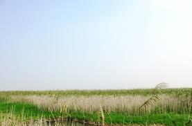 Mùa cỏ lau