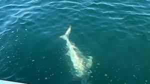 shark fishing off orange beach alabama youtube