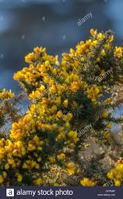 Tree With Bright Yellow Flowers - gorse latin name ulex europaeus shrub showing bright yellow