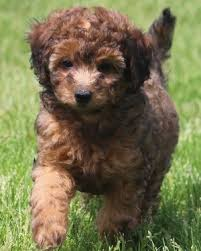 zwerg affenpinscher 36 best miniature poodle images on pinterest standard poodles