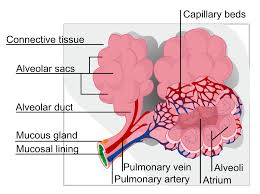 Anatomy And Physiology Of Lungs Lung Wikipedia