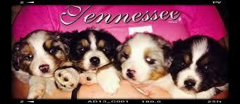 3 australian shepherd mix puppies for adoption australian shepherds for sale ads free classifieds