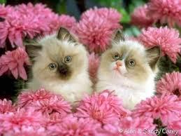 صور قطط تدحك,صور قطط,صور قطط جميلة,صور قطط حلوه Images?q=tbn:ANd9GcSW4Ad7NjW5raO989x73afybdGmxxx5oAtxf3lOkWVoVUm0D5A4