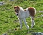 File:Pony foal on Cox Tor.jpg - Wikimedia Commons