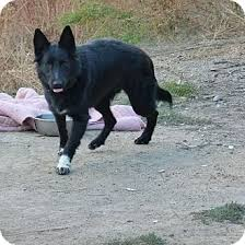 belgian sheepdog breeders in texas brei adopted dog merritt bc belgian shepherd border collie mix