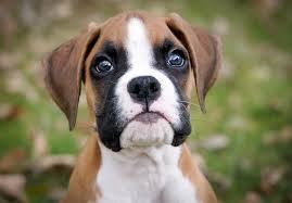 bluetick coonhound puppies for sale in ohio boxer puppies for sale akc puppyfinder