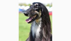 afghan hound long haired dogs afghan hound breed information