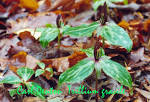 Image result for Trillium gracile