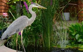Pets subjects  will our fish ever recover from a heron attack     Heron by a fish pond