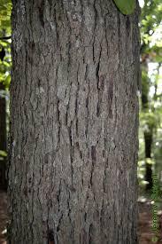 White Oak Bark Fagaceae Quercus Stellata Post Oak Lab 6