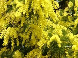 Tree With Bright Yellow Flowers - da lat flowers da lat vietnam