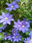 Blue Clematis - Share Your Story: What Are Your Favorite Plants?