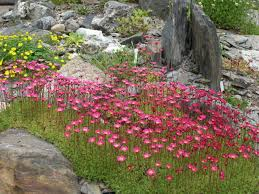 Rock Garden Plants Uk by Rock Garden Plants Images