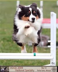 belgian sheepdog national specialty 2018 dawg dallas agility working group