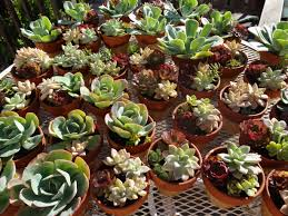 Succulents Pots For Sale by Succulent Container Gardening Tended