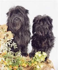 oldest affenpinscher the affenpinscher is a small dog with a shaggy wiry type coat