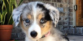 australian shepherd x pomeranian for sale 19 gorgeous corgi mixes that are almost too cute to be real