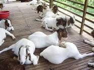 Budidaya pengemukan kambing