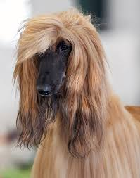 afghan hound long haired dogs dog breeds and prices archives media
