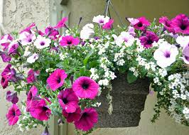 Flowers Plants by How To Not Kill Hanging Plants Bring Joy