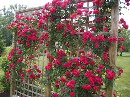 12 incredible tips for climbing roses page 9 of 13 plants