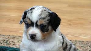 3 australian shepherd mix puppies for adoption miniature australian shepherd for sale ads free classifieds
