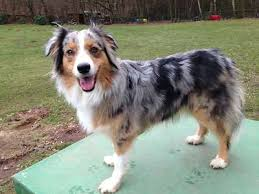 australian shepherd diseases find out everything about australian shepherd u2013 working dog