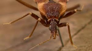 cdc warns tn of kissing bug chagas disease youtube
