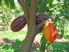 <b>Cacao</b> tree was cultivated