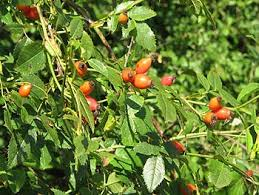 arbuste , plantes de nos jardin commestible .edible bush , smalltrees , plants Images?q=tbn:ANd9GcS_ua5w5I2lgojjb8Me2OjFLx_zg9Lv-eDNBufP7aqeh2gqWtM&t=1&usg=__C5O6ewwewEwvc8x6adm_i8aumeo=
