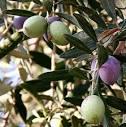 <b>Oleaceae</b>, olive tree [Credit: