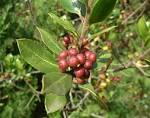 File:<b>Rhamnus</b> alaternus fruits