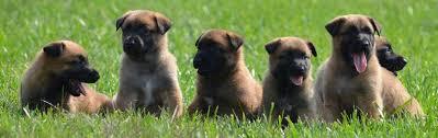 belgian shepherd nc belgian malinois puppies