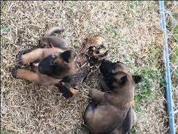 belgian sheepdog breeders in texas litter of 9 belgian malinois puppies for sale in west plains mo