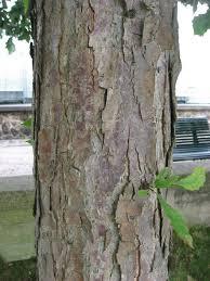 White Oak Bark Swamp White Oak Quercus Bicolor Excellent Tree For Urban Use
